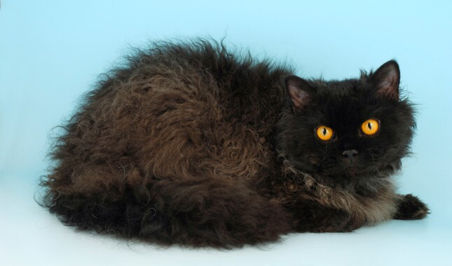 Selkirk Rex With Orange Eyes Lying Down