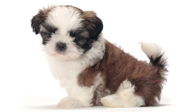 shih tzu puppis shih tzu dog breed information 5350