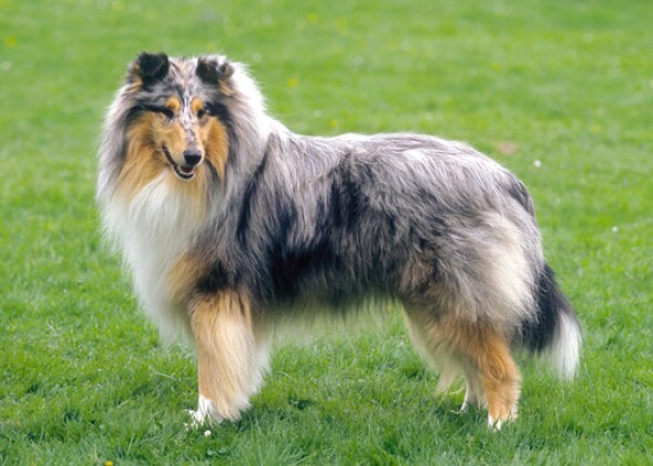 Large Dog Breeds For First Time Owners
