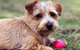 Norfolk Terrier with a ball