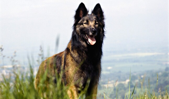 Belgian Tervueren in the grass
