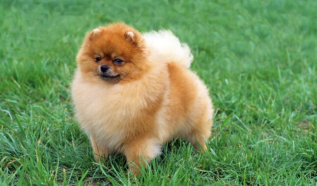 Pomeranian Breed Information
