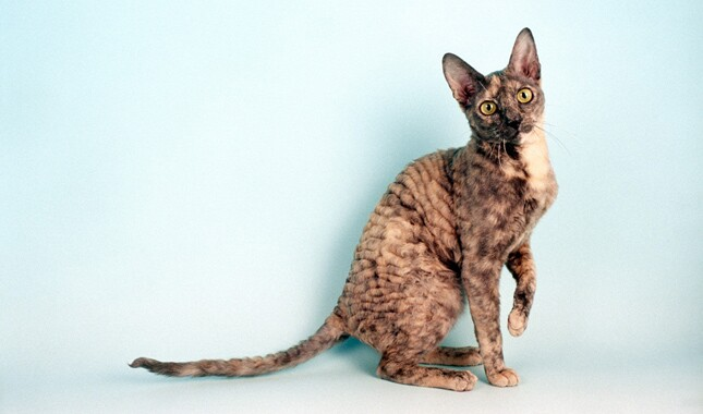 Blue Cream Tortoiseshell Cornish Rex