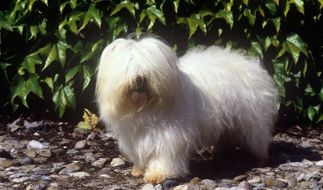 Coton de Tulear in Front of Bushes