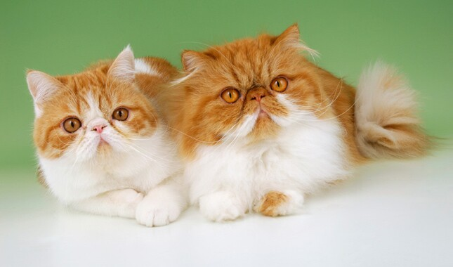 Two Persians on Green Background