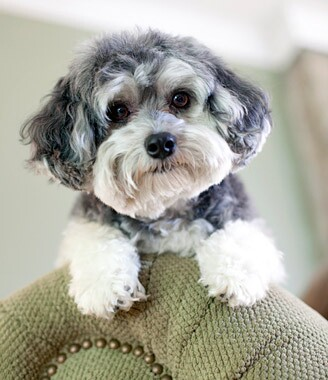 Maltipoo Dog Breed