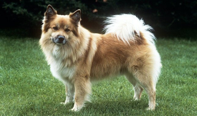 Tan Icelandic Sheepdog