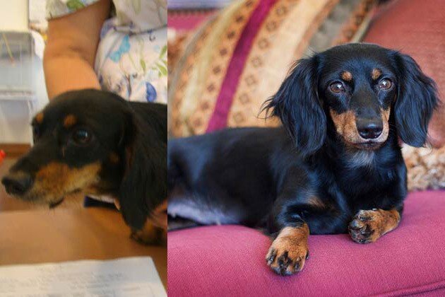 Dachshund Rescue in Dallas Does Doggy Makeovers and Gorgeous Portraits