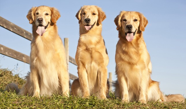 Three Golden Retrievers Sitting Outdoors