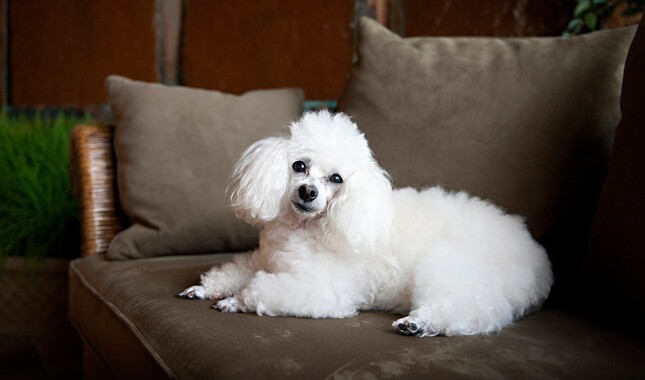 Toy Poodle Sitting on Couch