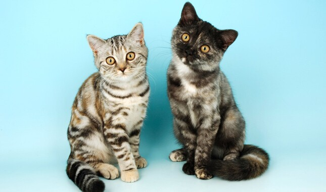 Two British Shorthair Cats on Blue Background