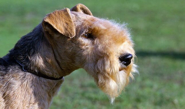 Lakeland Terrier Dog Breed