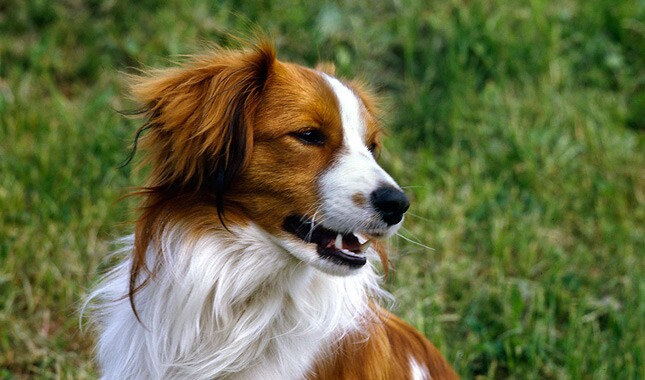 Close Up of Kooikerhondje