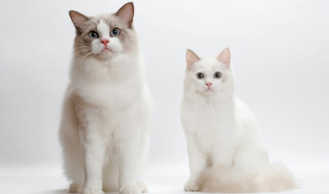 Two Ragdoll Cats on White Background