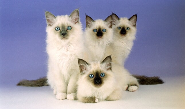 Four Birman kittens