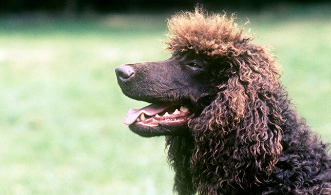 Irish Water Spaniel dog