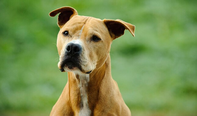 Breed specific legislation  Bless the Bullys