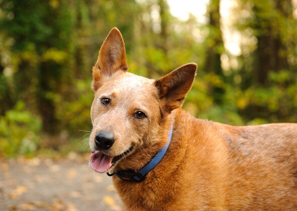 Cattle Dogs Ears Stand Up
