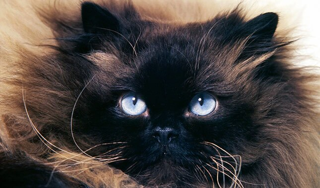Himalayan cat face