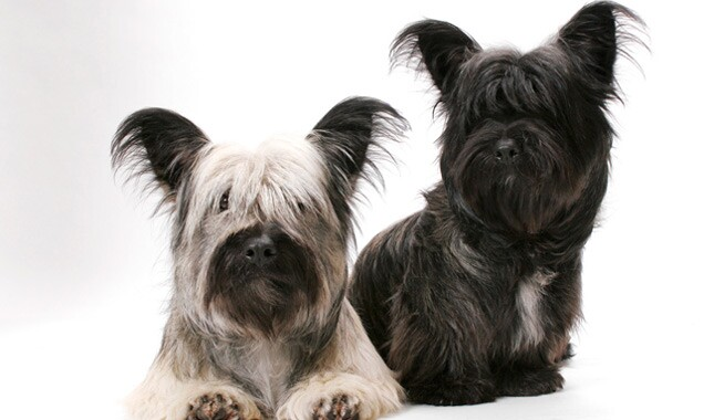 Skye Terrier Dog Breed Information