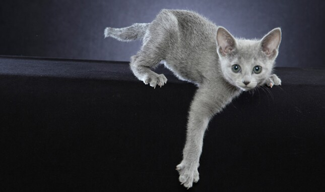 Gray Russian Blue Kitten