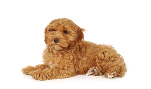 cockapoo breed information