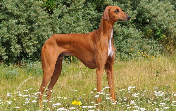 Azawakh Dog Breed