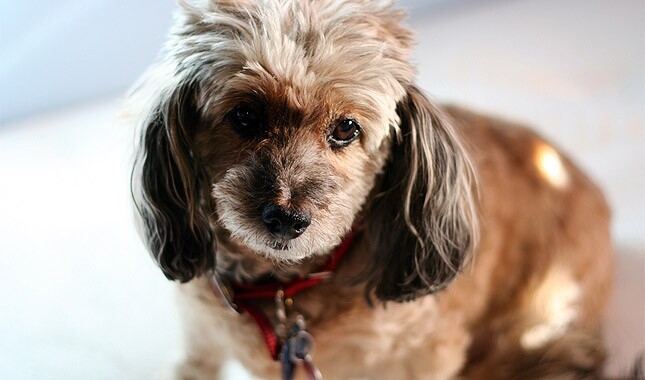 Doxiepoo Dog Breed