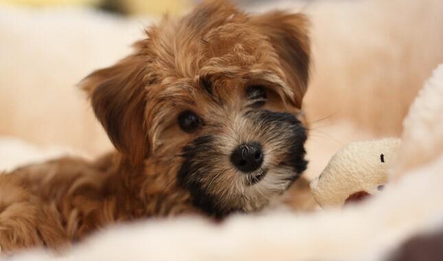 Yorkipoo Dog Breed Information