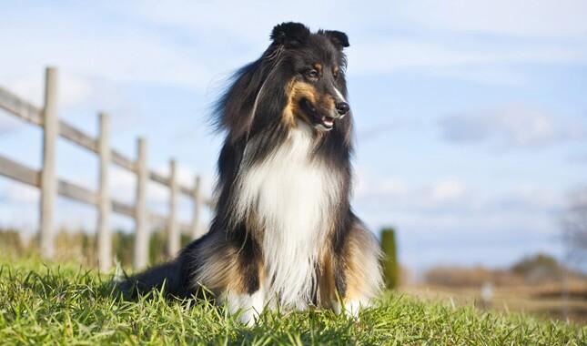 Shetland Sheepdog in a field