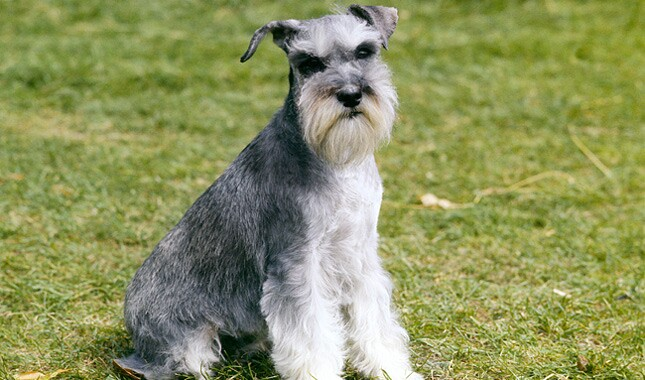 Miniature Schnauzer Dog Breed