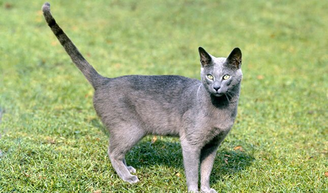 Russian Blue cat outside