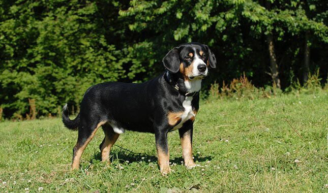 Entlebucher Mountain Dog in field standing.