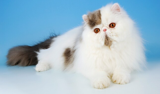 White Persian Laying Down