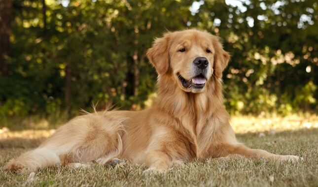 Golden Retriever Smiling Lying in Grass