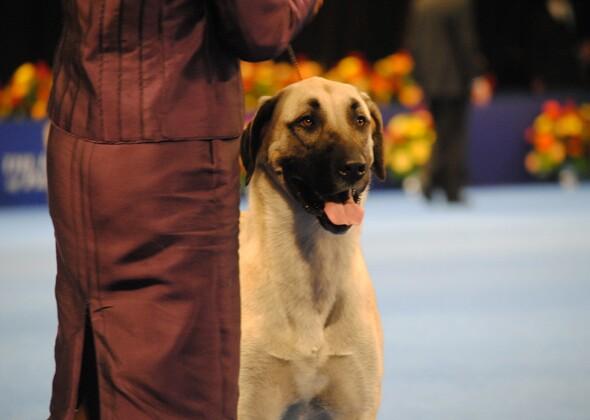 Anatolian Shepherd At National Dog Show