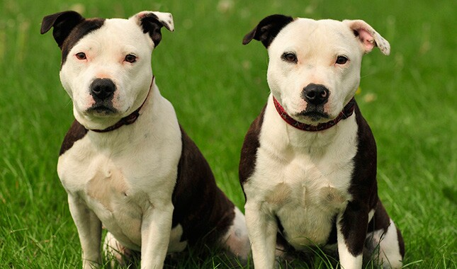 Two Staffordshire Bull Terriers Sitting in Grass