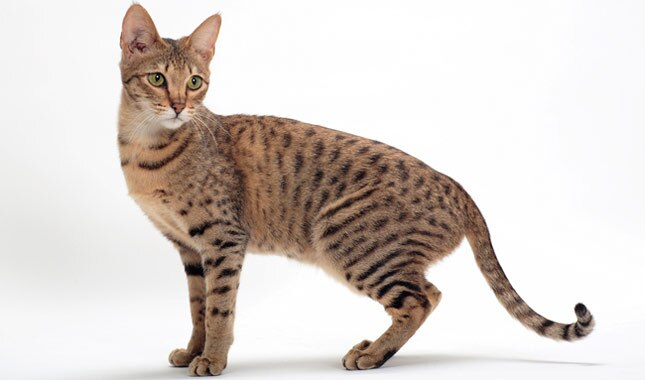 Guard Cat Breeds