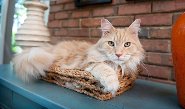 Orange Maine Coon in Basket