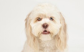 Lhasapoo Dog Breed