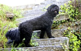 Portuguese Water Dog on steps