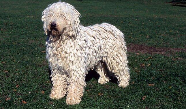Komondor Dog Puppy