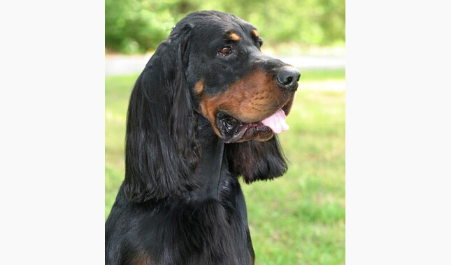 Gordon Setter Breed Information