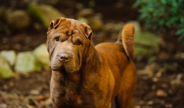 Brown Shar-Pei Outdoors