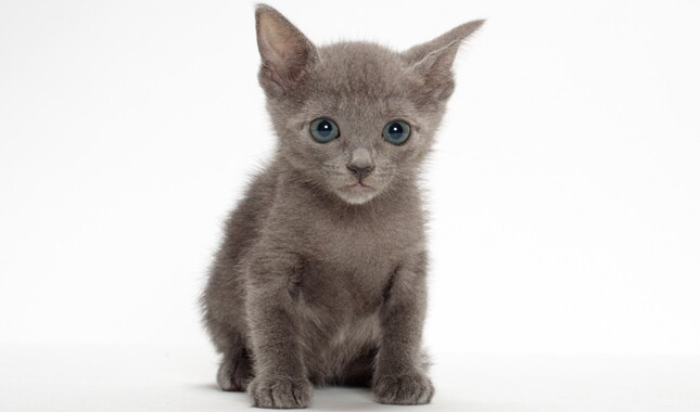 Small Russian Blue Kitten