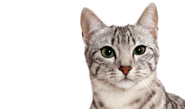 Egyptian Mau cat face