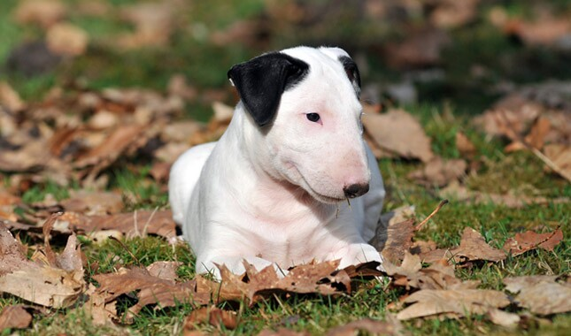 pit bull terriers make good pets essay