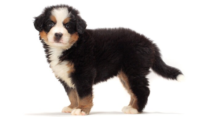 bernese mountain dog. bernese mountain dog breed