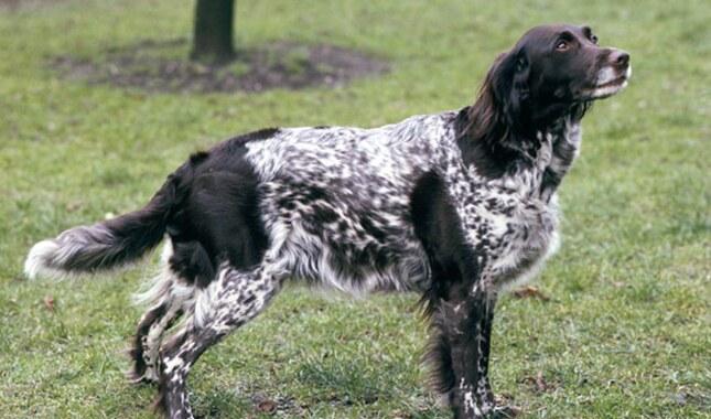 Small Munsterlander Dog Breed
