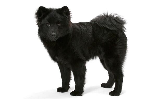Swedish Lapphund Dog